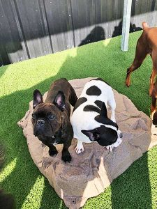 Our Toledo dog daycare guests playing on our fun rock!